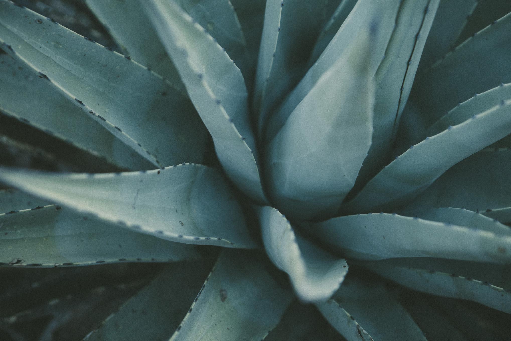 How Aloe Vera Can Be Used Medicinally
